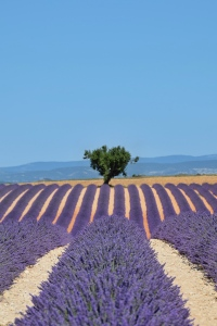 Valensole Plateau, France - 2015
