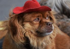 Chien à chapeau