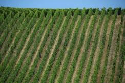 Alsatian vineyard