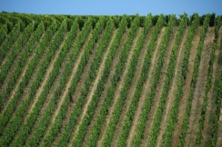 Alsatian vineyard