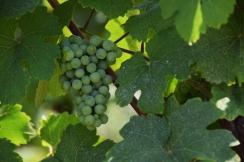 Vines along the Route du Vin